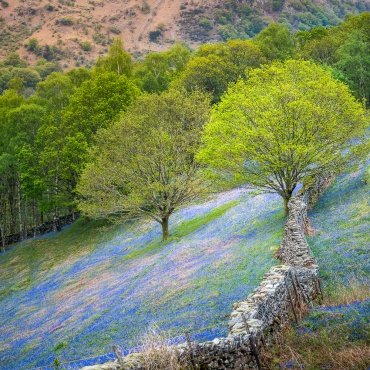 A carpet of bluebells on the lower slopes of Loughrigg Fell, just above Grasmere
